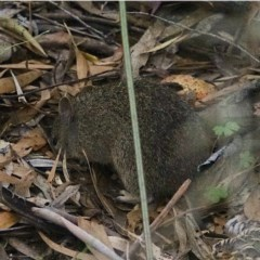 Isoodon obesulus (Southern Brown Bandicoot) at Tidbinbilla Nature Reserve - 14 Nov 2020 by Ct1000