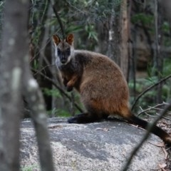 Petrogale penicillata (Brush-tailed Rock Wallaby) at Tidbinbilla Nature Reserve - 14 Nov 2020 by Ct1000