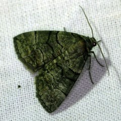 Dysbatus undescribed species (A Line-moth) at Goorooyarroo - 6 Nov 2020 by ibaird
