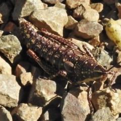 Monistria concinna (Southern Pyrgomorph, Southern Gaudy Grasshopper) at Namadgi National Park - 15 Nov 2020 by JohnBundock