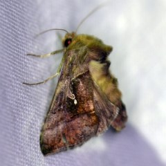 Chrysodeixis subsidens (A Noctuid moth) at Goorooyarroo - 6 Nov 2020 by ibaird