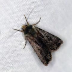 Agrotis munda (Brown Cutworm) at Goorooyarroo - 6 Nov 2020 by ibaird