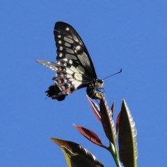Papilio anactus (Dainty Swallowtail) at Hughes, ACT - 14 Nov 2020 by JackyF