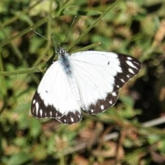 Belenois java (Caper White) at Red Hill Nature Reserve - 14 Nov 2020 by JackyF