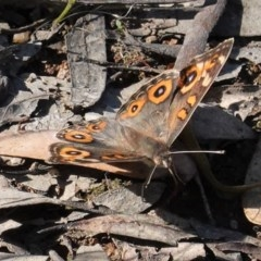 Junonia villida (Meadow Argus) at Red Hill Nature Reserve - 14 Nov 2020 by JackyF