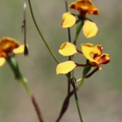 Diuris semilunulata (Late leopard orchid) at Mongarlowe River - 15 Nov 2020 by LisaH
