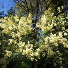 Acacia mearnsii (Black Wattle) at Hughes Grassy Woodland - 14 Nov 2020 by JackyF