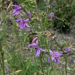 Arthropodium fimbriatum (Chocolate Lily) at Federal Golf Course - 13 Nov 2020 by JackyF