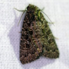 Hypoperigea tonsa (A noctuid moth) at Goorooyarroo - 6 Nov 2020 by ibaird