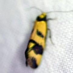 Olbonoma triptycha (Concealer moth) at Goorooyarroo - 6 Nov 2020 by ibaird