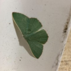 Prasinocyma semicrocea (Common Gum Emerald) at Majura, ACT - 15 Nov 2020 by Ghostbat