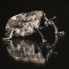 Eutyrhinus meditabundus (Weevil) at Evatt, ACT - 14 Nov 2020 by TimL