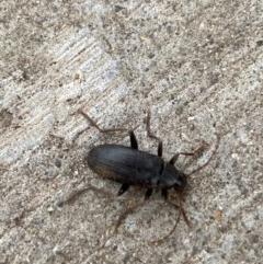Homotrysis sp. (genus) (Darkling beetle) at Pialligo, ACT - 15 Nov 2020 by Ozflyfisher