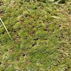 Unidentified Moss / Liverwort / Hornwort (TBC) at Symonston, ACT - 2 Oct 2020 by Jenjen