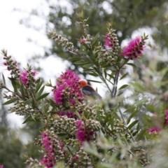 Myzomela sanguinolenta (Scarlet Honeyeater) at Michelago, NSW - 4 Nov 2020 by Illilanga