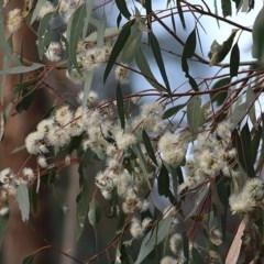 Eucalyptus camaldulensis subsp. camaldulensis (River Red Gum) at Wodonga - 8 Nov 2020 by Kyliegw