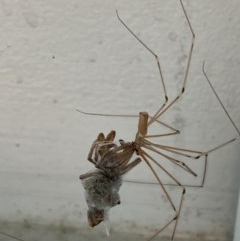 Pholcus phalangioides (Daddy longlegs spider) at Majura, ACT - 15 Nov 2020 by Ghostbat