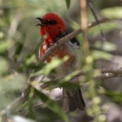 Myzomela sanguinolenta (Scarlet Honeyeater) at Michelago, NSW - 13 Nov 2020 by Illilanga