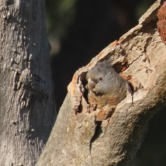 Callocephalon fimbriatum (Gang-gang Cockatoo) at Mount Mugga Mugga - 15 Nov 2020 by roymcd