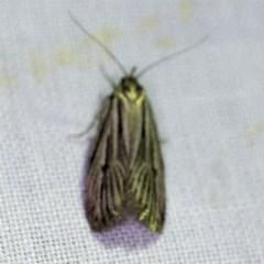 Ciampa arietaria (Forked Pasture-moth) at Goorooyarroo - 6 Nov 2020 by ibaird