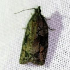 Thrincophora inconcisana (A Tortricid moth) at Goorooyarroo - 6 Nov 2020 by ibaird