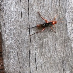 Lissopimpla excelsa (Orchid Dupe Wasp) at Albury - 15 Nov 2020 by Hendyks