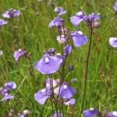 Utricularia dichotoma (Fairy Aprons, Purple Bladderwort) at Holt, ACT - 15 Nov 2020 by pinnaCLE