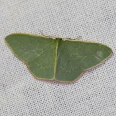 Chlorocoma dichloraria (Doubled-fringed or Guenee's Emerald) at Goorooyarroo - 6 Nov 2020 by ibaird