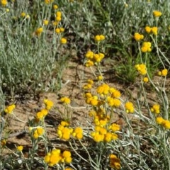 Chrysocephalum apiculatum (Common Everlasting) at Callum Brae - 14 Nov 2020 by Mike