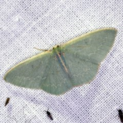 Chlorocoma melocrossa (Cream-fringed Emerald) at Goorooyarroo - 6 Nov 2020 by ibaird