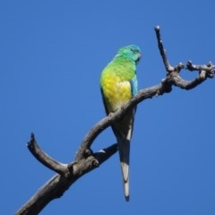 Psephotus haematonotus (Red-rumped Parrot) at Mount Mugga Mugga - 13 Nov 2020 by Mike
