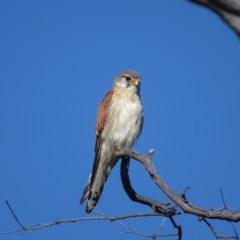 Falco cenchroides (Nankeen Kestrel) at Mount Mugga Mugga - 13 Nov 2020 by Mike