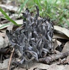 Ramaria sp. (TBC) at Black Range, NSW - 16 Nov 2020 by Steph H