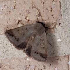 Pantydia sparsa (Noctuid Moth) at Harrison, ACT - 13 Nov 2020 by DPRees125