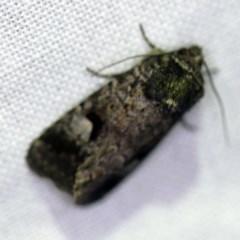 Thoracolopha verecunda (A Noctuid moth (group)) at Goorooyarroo - 6 Nov 2020 by ibaird