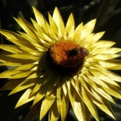 Apis mellifera (European honey bee) at Aranda, ACT - 8 Nov 2020 by KMcCue