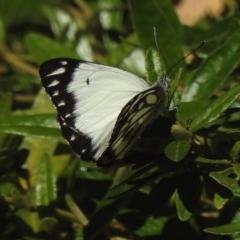 Belenois java (Caper White) at Aranda, ACT - 14 Nov 2020 by KMcCue