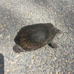 Chelodina longicollis (Eastern Long-neck Turtle) at Murrumbateman, NSW - 16 Oct 2020 by Hank