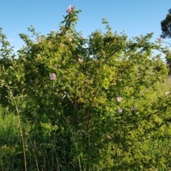 Rosa rubiginosa (Sweet Briar, Eglantine) at Mulanggari Grasslands - 14 Nov 2020 by ClubFED