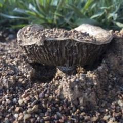 Unidentified Cap on a stem; gills below cap [mushrooms or mushroom-like] (TBC) at Michelago, NSW - 1 Nov 2020 by Illilanga