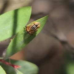 Eristalinus punctulatus (Native Drone Fly) at Cook, ACT - 15 Nov 2020 by Tammy