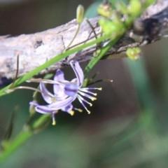Unidentified Lily & Iris (TBC) at Moruya, NSW - 14 Nov 2020 by LisaH