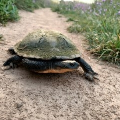 Chelodina longicollis (Eastern Long-necked Turtle) at Dunlop, ACT - 15 Nov 2020 by NNC