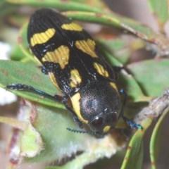 Castiarina octospilota (8-spot jewel beetle) at Wingecarribee Local Government Area - 14 Nov 2020 by Harrisi