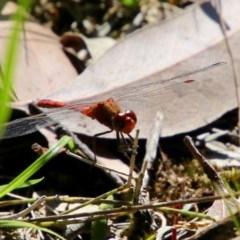 Diplacodes bipunctata (Wandering Percher) at Moruya, NSW - 14 Nov 2020 by LisaH