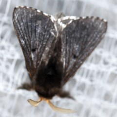 Symphyta nyctopis (A Lasiocampid moth) at O'Connor, ACT - 10 Nov 2020 by ibaird