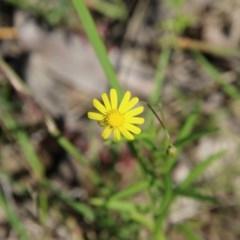 Unidentified Daisy (TBC) at Moruya, NSW - 14 Nov 2020 by LisaH