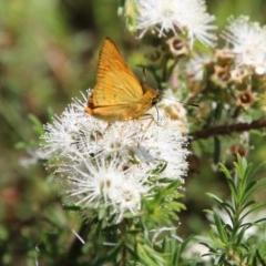 Unidentified Butterfly (TBC) at Moruya, NSW - 14 Nov 2020 by LisaH