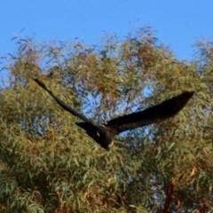 Calyptorhynchus lathami at suppressed - 15 Nov 2020