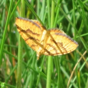 Chrysolarentia correlata at Namadgi National Park - 15 Nov 2020